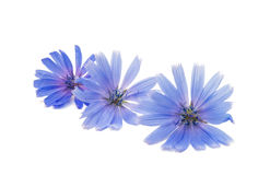 Chicory flower. On a white background Stock Photos
