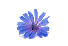 Chicory flower. On a white background Royalty Free Stock Photography