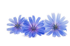 Chicory flower. On a white background Stock Photo