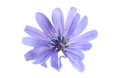 Chicory flower on white background Stock Photos