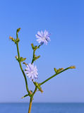 Chicory flowering Royalty Free Stock Photos