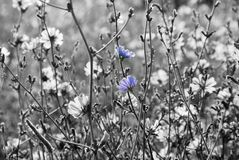 Chicory flowers. Two chicory flowers glow in a black and white field stock photo