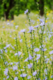 Chicory flowers royalty free stock photos