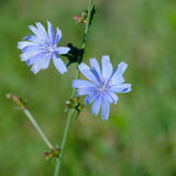 Chicory flowers Stock Photo