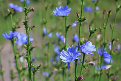 Chicory flowers. Herb growing in wood chicory Stock Photography
