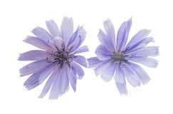 Chicory flowers isolated. On white background stock images