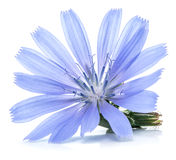 Chicory flowers isolated on the white background. Royalty Free Stock Photo