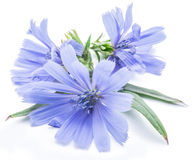 Chicory flowers isolated on the white background. Stock Photo