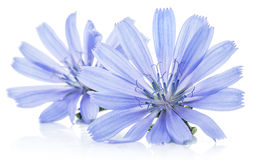 Chicory flowers isolated on the white background. Royalty Free Stock Photography