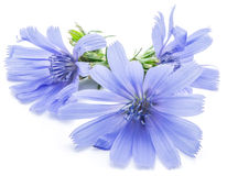 Chicory flowers isolated on the white background. Stock Photography