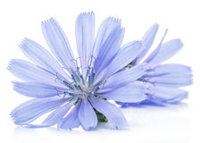 Chicory flowers isolated on the white background. Stock Images