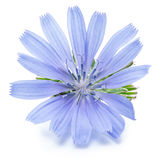 Chicory flowers isolated on the white background. Royalty Free Stock Photos