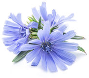 Chicory flowers isolated on the white background. Cichorium intybus - common chicory flowers isolated on the white background Royalty Free Stock Photography