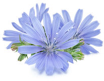 Chicory flowers isolated on the white background. Royalty Free Stock Images