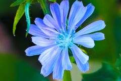 Chicory flowers on meadow. Blooming chicory flowers on a green grass. Meadow with chicory flowers. Wild nature flower. Chicory royalty free stock photography