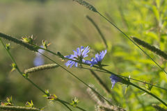 Chicory flowers in meadow selective focus Royalty Free Stock Image
