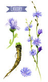 Chicory flowers and roots, watercolor illustration with clipping. Chicory hand-painted watercolor set, clipping paths included royalty free illustration