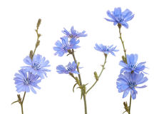Chicory. Group of blue chicory on white background Stock Photo