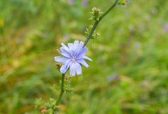 Chicory perennial herbaceous plant. In time of blossoming Stock Photos