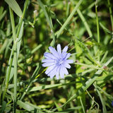 Chicory Royalty Free Stock Images