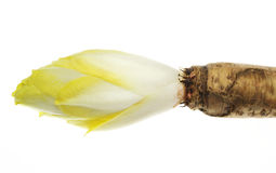 Chicory with a root. Pictured a chicory with a root in a white background Stock Photography