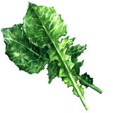 Chicory salad, catalogna, endive, green leaves isolated, watercolor illustration. On white background Stock Photos