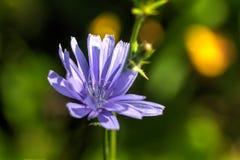 chicory sommar för sally för blomma blomma för dagfältfireweed lantlig arkivbilder