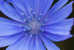 Chicory, succory Royalty Free Stock Photo