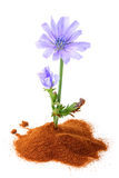 The chicory (succory) flower and powder of instant chicory. Royalty Free Stock Image