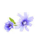 Chicory (succory) flowers isolated. Stock Images