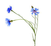 Chicory with three blue flowers Stock Images