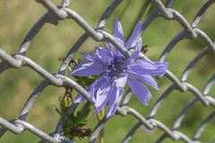 Chicory Royalty Free Stock Image