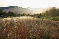 Free Chicory Wildflower Field In Tuscany, Italy. Stock Photography - 2042022