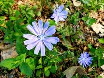 ChicoryFlowers. Chicory Cichorium intybus Plant flowers Royalty Free Stock Photography