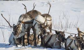 Chicote de fios de renas domesticadas Imagem de Stock