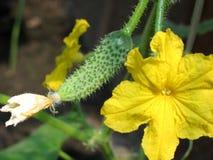 Chicote do pepino com uma flor e um pepino pequeno. Imagens de Stock