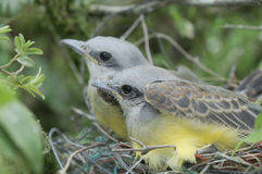 Chics de Kingbird Photo stock