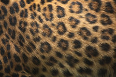 chińczyka lamparta futerkowa tekstura (Panthera pardus japonensis) Zdjęcie Stock