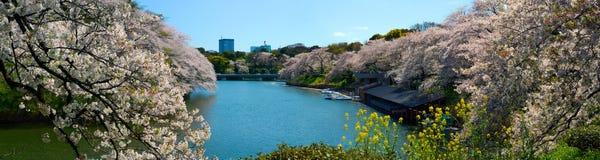 Chidorigafuchi护城河宽全景和樱桃在东京,日本开花开花 免版税库存照片