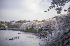 CHIDORIGAFUCHI PARK. TOKYO - JAPAN - 28 MAR 2013:Two people was visited at the  saw People enjoying  paddling in the lake in the evening. Cherry blossoms Royalty Free Stock Images
