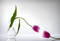 Chiedendo l'aiuto (una conversazione di due tulipani) Fotografia Stock
