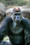Chief. Picture of ape taken in safari, Israel Stock Image