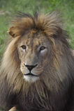 Chief. Male Lion, shot at a gamedrive in South Africa royalty free stock images