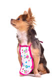 Chief chuhuahua puppy wearing apron isolated Stock Images