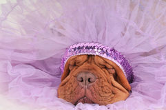 Chief Dog Royalty Free Stock Photos
