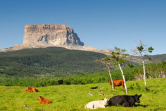Chief Mountain. Cattle grazing in the shadow of Chief Mountain, Glacier National Park Montana USA stock photography