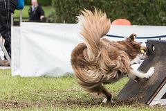 Chien博德牧羊犬flyball 库存图片