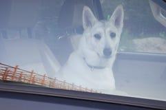 Chien à la maison dans la voiture Ami quadrupède fidélité Images stock