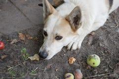 Chien à la maison sur la cour Ami quadrupède fidélité Rebecca 36 Photo stock