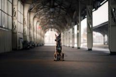 Chien à la station de train Déplacement avec l'animal familier Image libre de droits